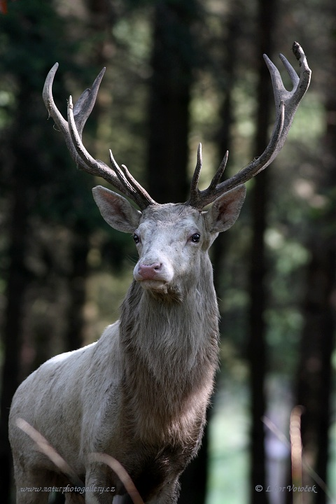 Red deer - white  (Cervus elaphus - )